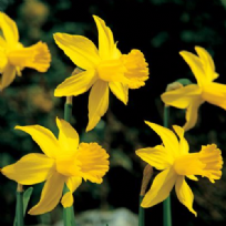 Narcissus February Gold